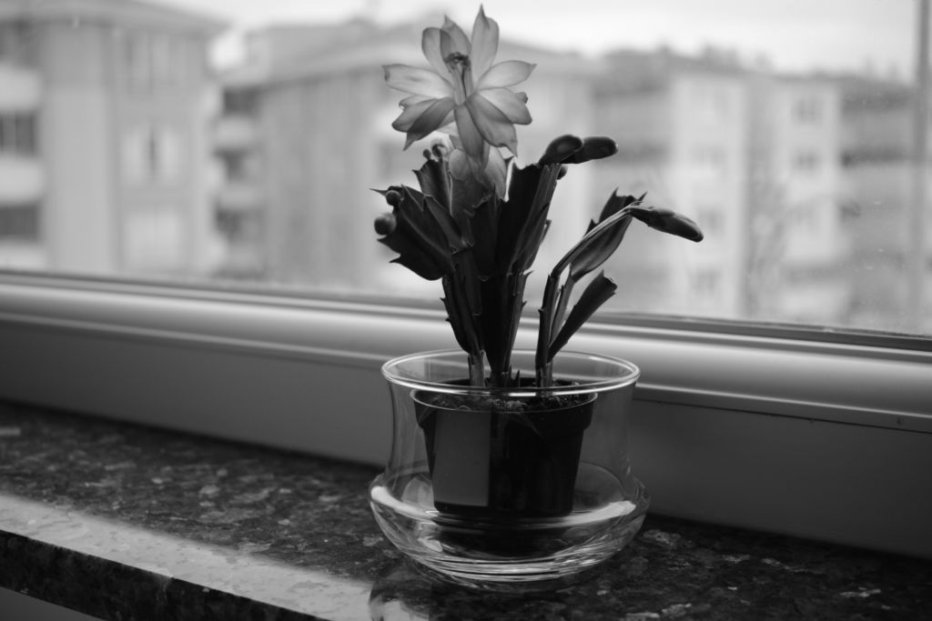 cactus-black-and-white-plant-white-photo